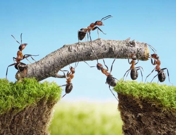 Foto ilustrando a cooperação entre formigas
